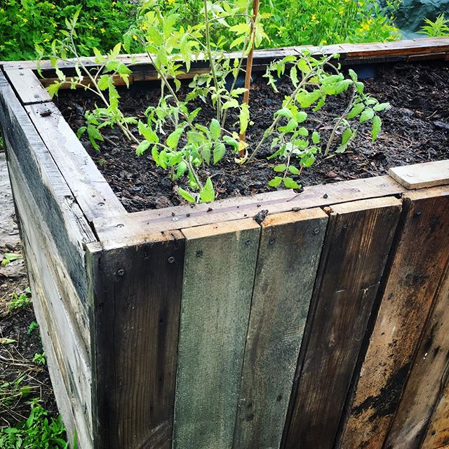 Planter finally in use, first tomatoes are in. Tigerella and Black Truffle.